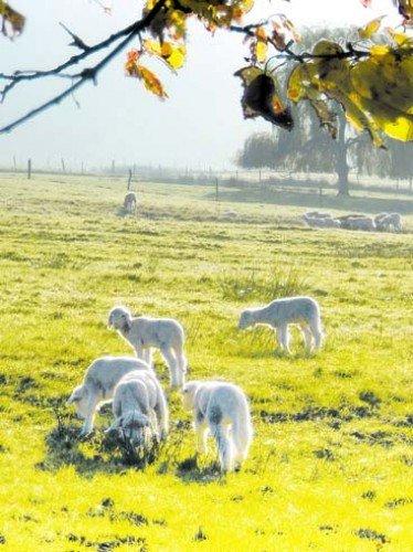 PAYSAGES dans catégorie paysages agneaux_fouchy_prairie_automne_france-e1367613134900