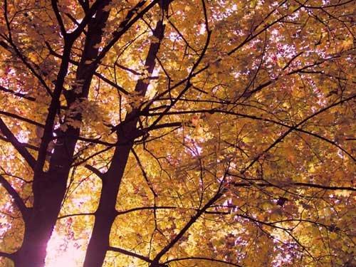 arbre_branches_automne_feuilles_jaunes_obernai_france aesthetic dans catégorie paysages