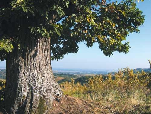 arbre_ete_dominant_plaine_alsace_kazy_emmanuel_didier
