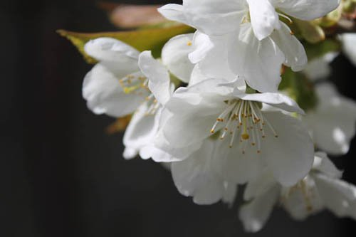 Fleurs de cerisier sur fond sombre