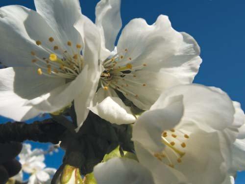 LES FONDS ET NATURES dans photographies fond_nature_fleur_branche_cerisier_printemps_kazy